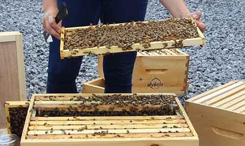 Beekeeper inspecting hive health