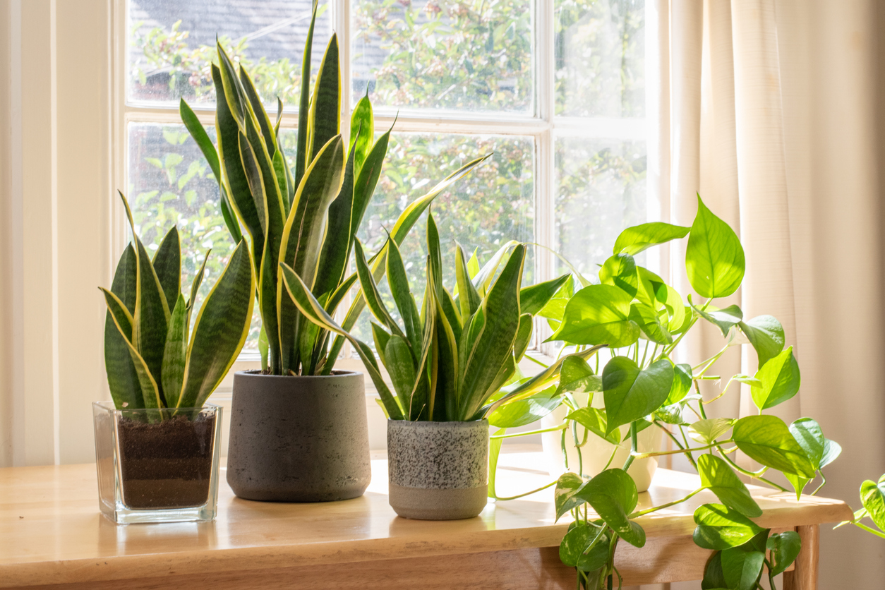 Potted snake plants inside a beautiful new flat or apartment. stock photo