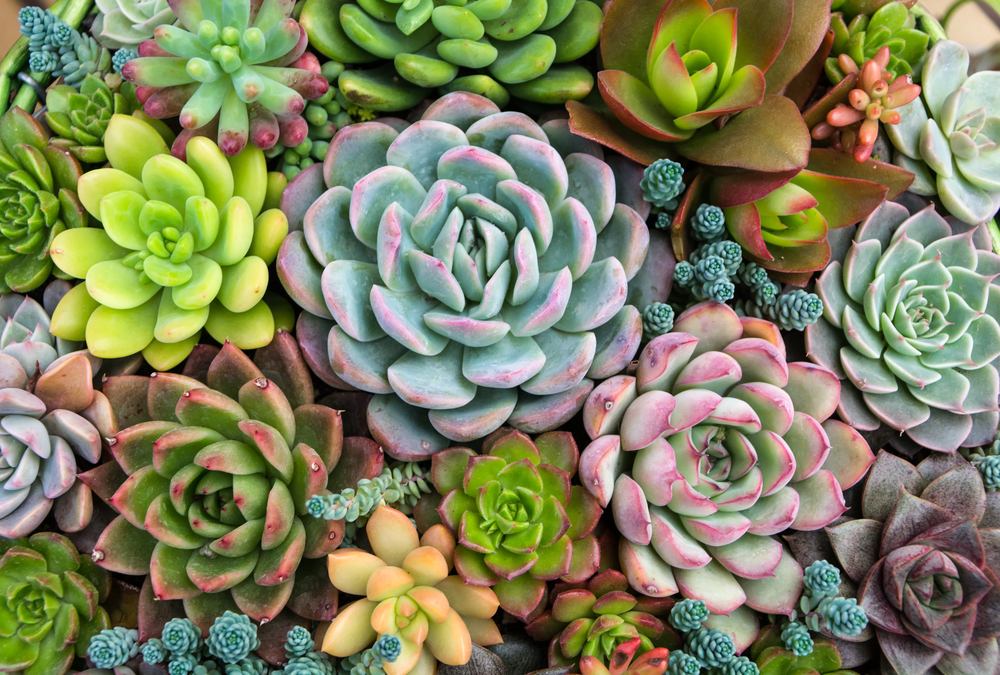 Brighten up your Weidner Apartment home with beautiful succulents!
