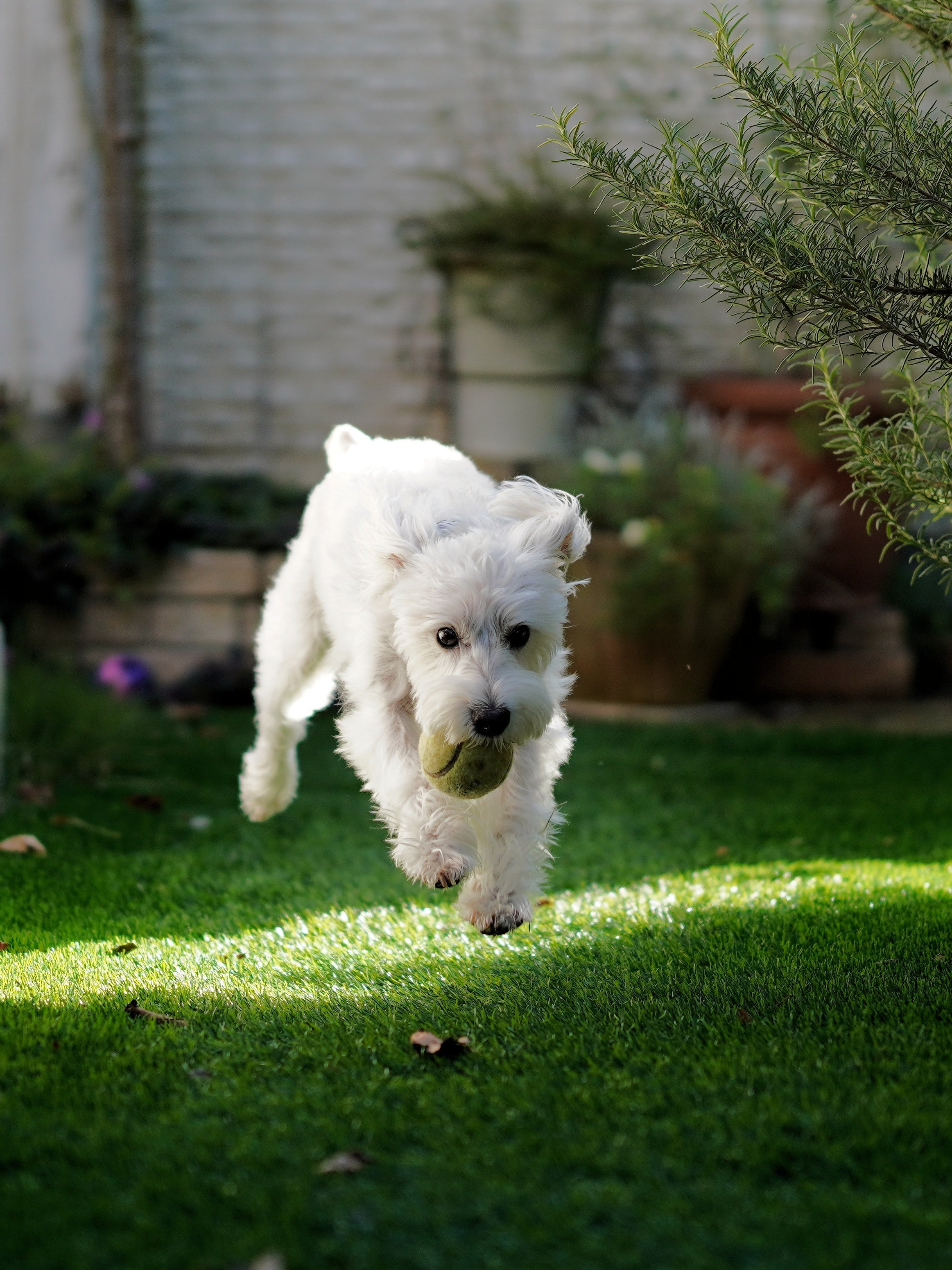 dog running with ball in the grass | Coral Club pet friendly apartments