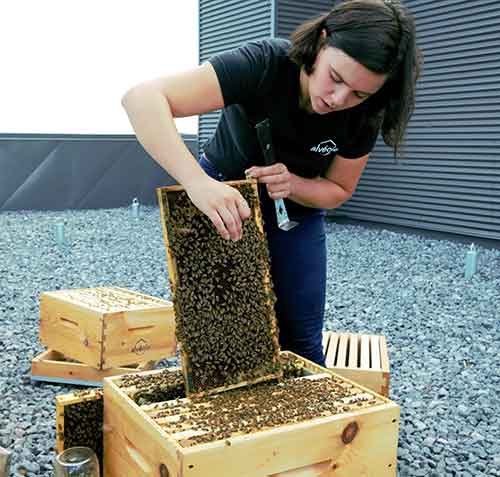 Beekeeper checking hive health