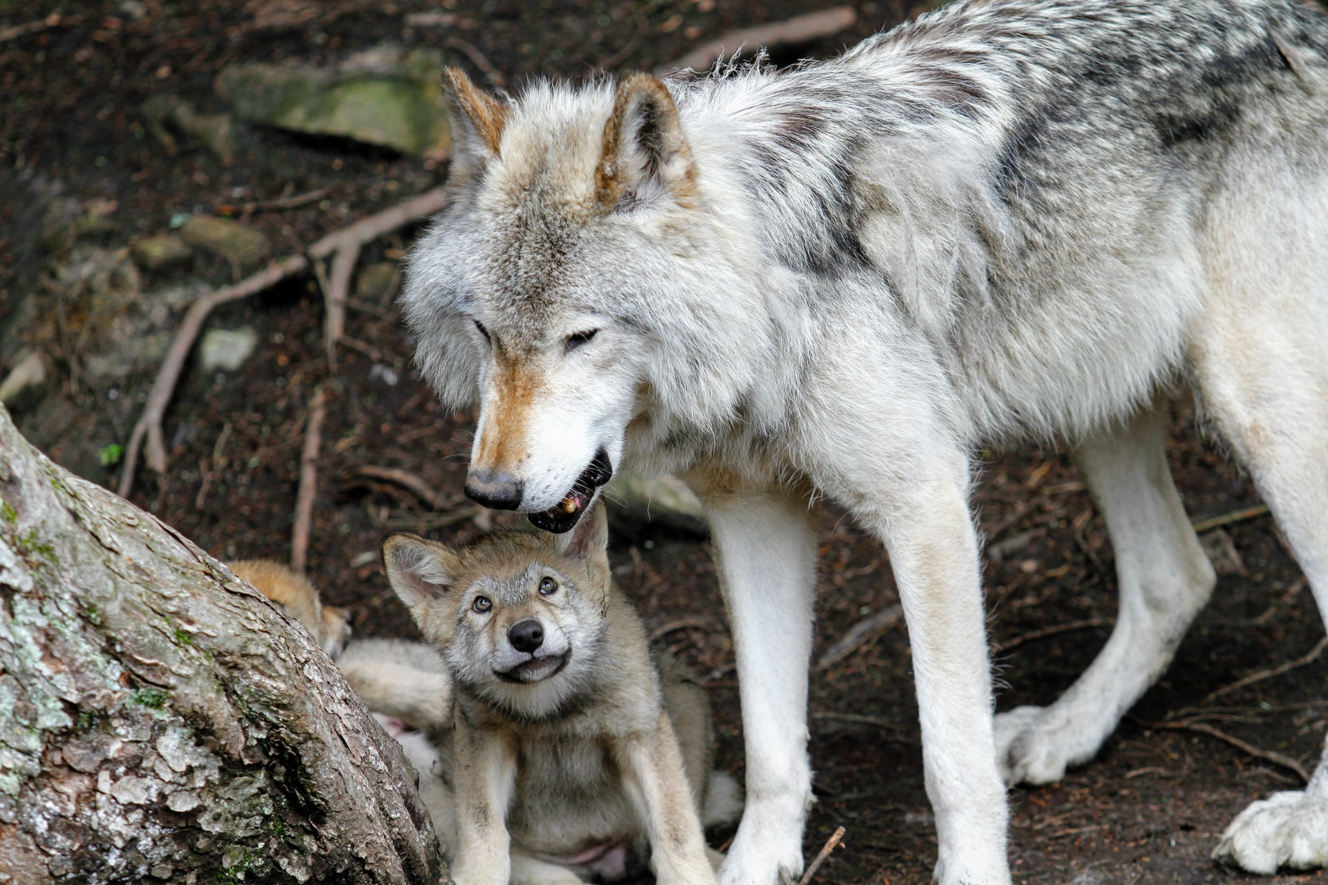 endangered wolf center eureka missouri