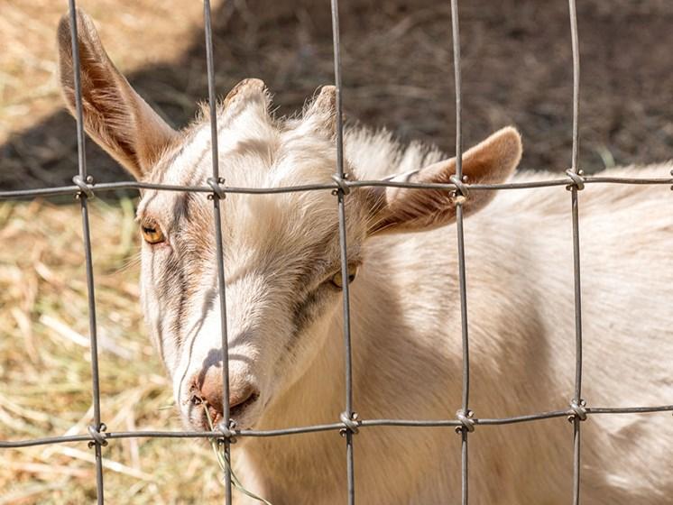 Livestock Animals at Healdsburg, A Pacifica Senior Living Community, California