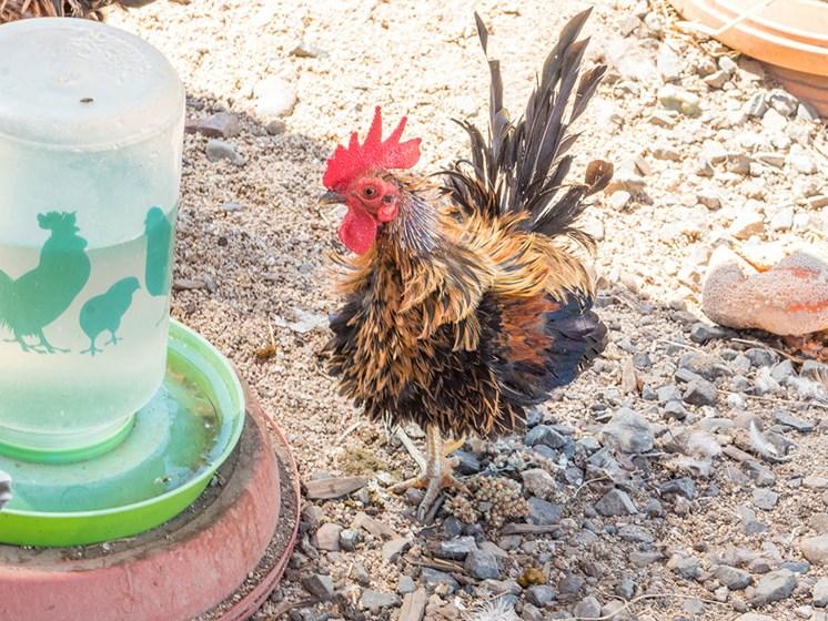 Roosters at Healdsburg, A Pacifica Senior Living Community, Healdsburg, CA, 95448