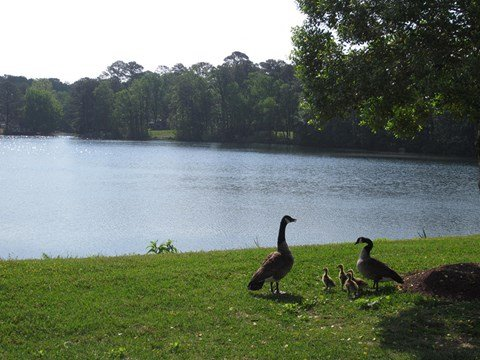 Old Donation Apartments Geese