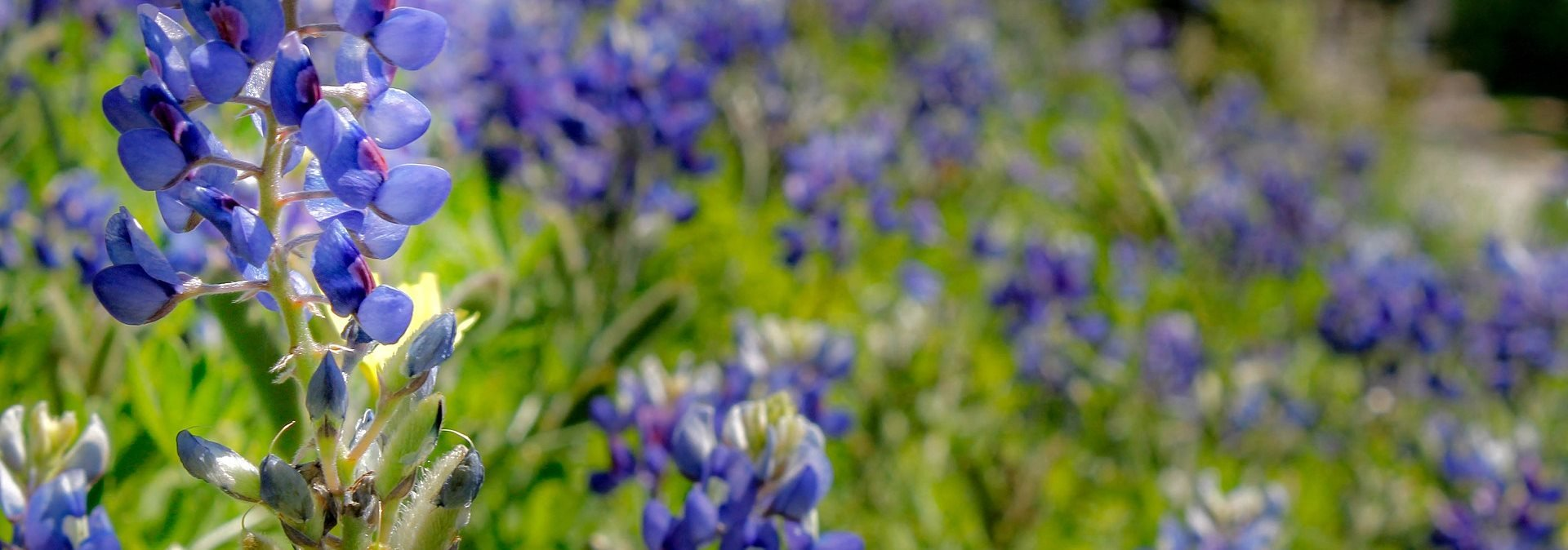 Stock Image Close up of Bluebonnet in a Field
