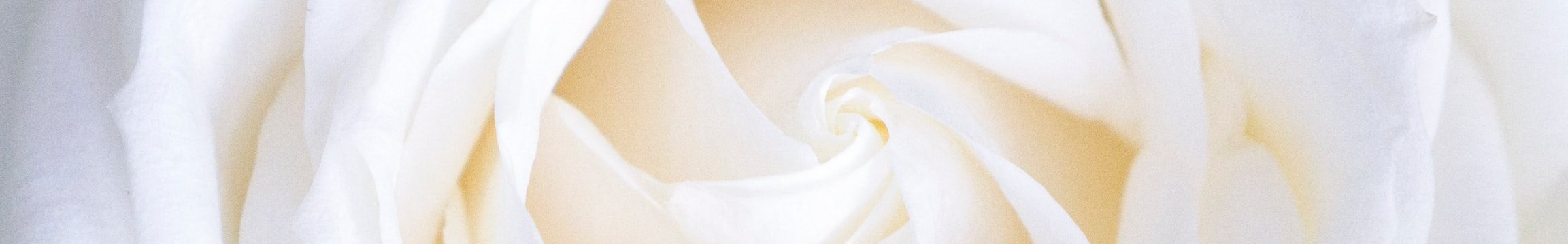 Stock Image Close up of White Rose