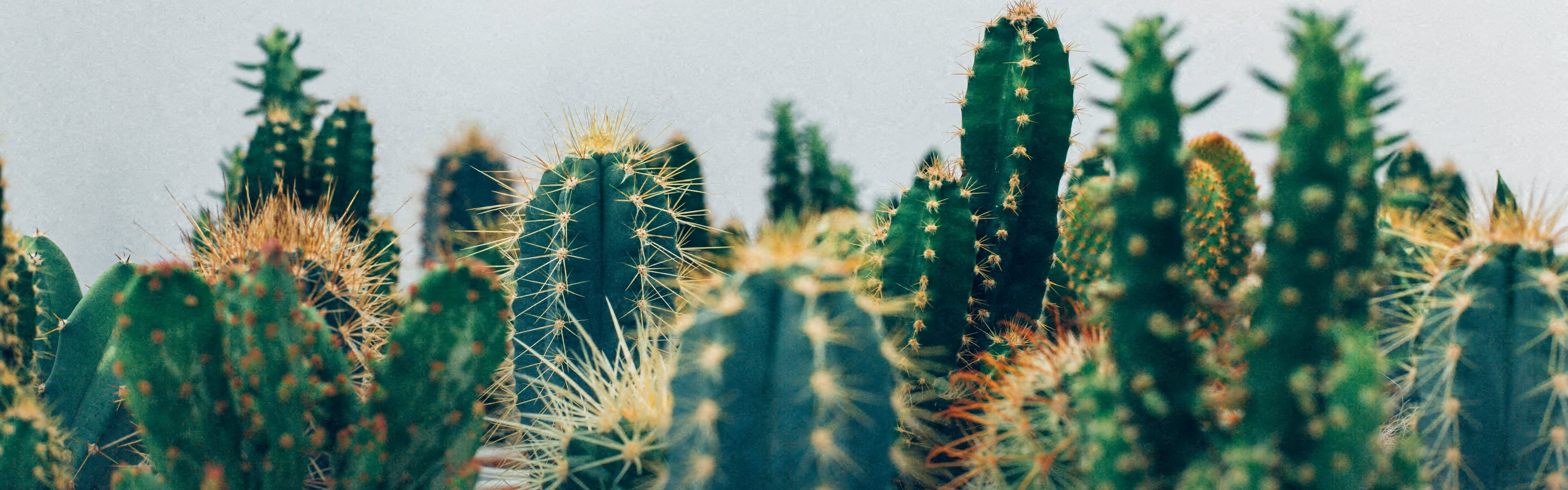 Stock Image of the Tops of Cacti in Front of White Background