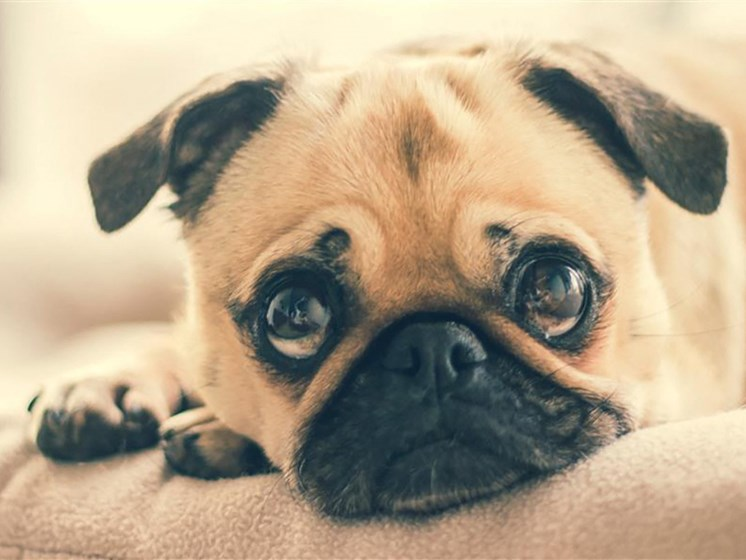 Adorable pug with pleading eyes. We are pet friendly.