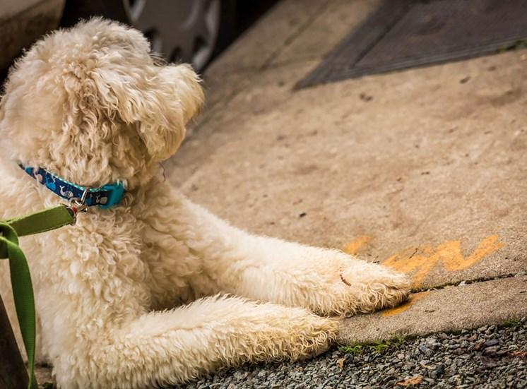 4730 California Apartments Dog On Leash Laying on Sidewalk