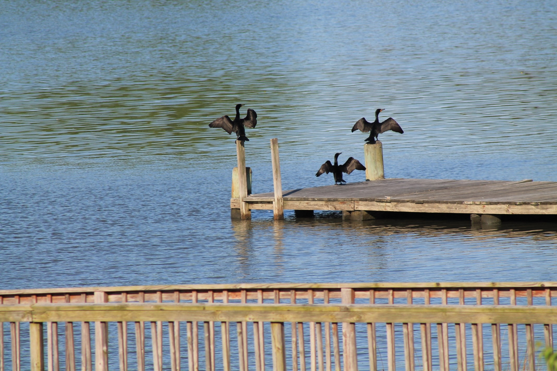 Cormorants on the Fishing Pier!