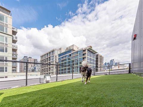 Dog Playing on On-Site Pet Park, With lush grass and beautiful views of cityscape at 10 Clay Apartments in Seattle, WA