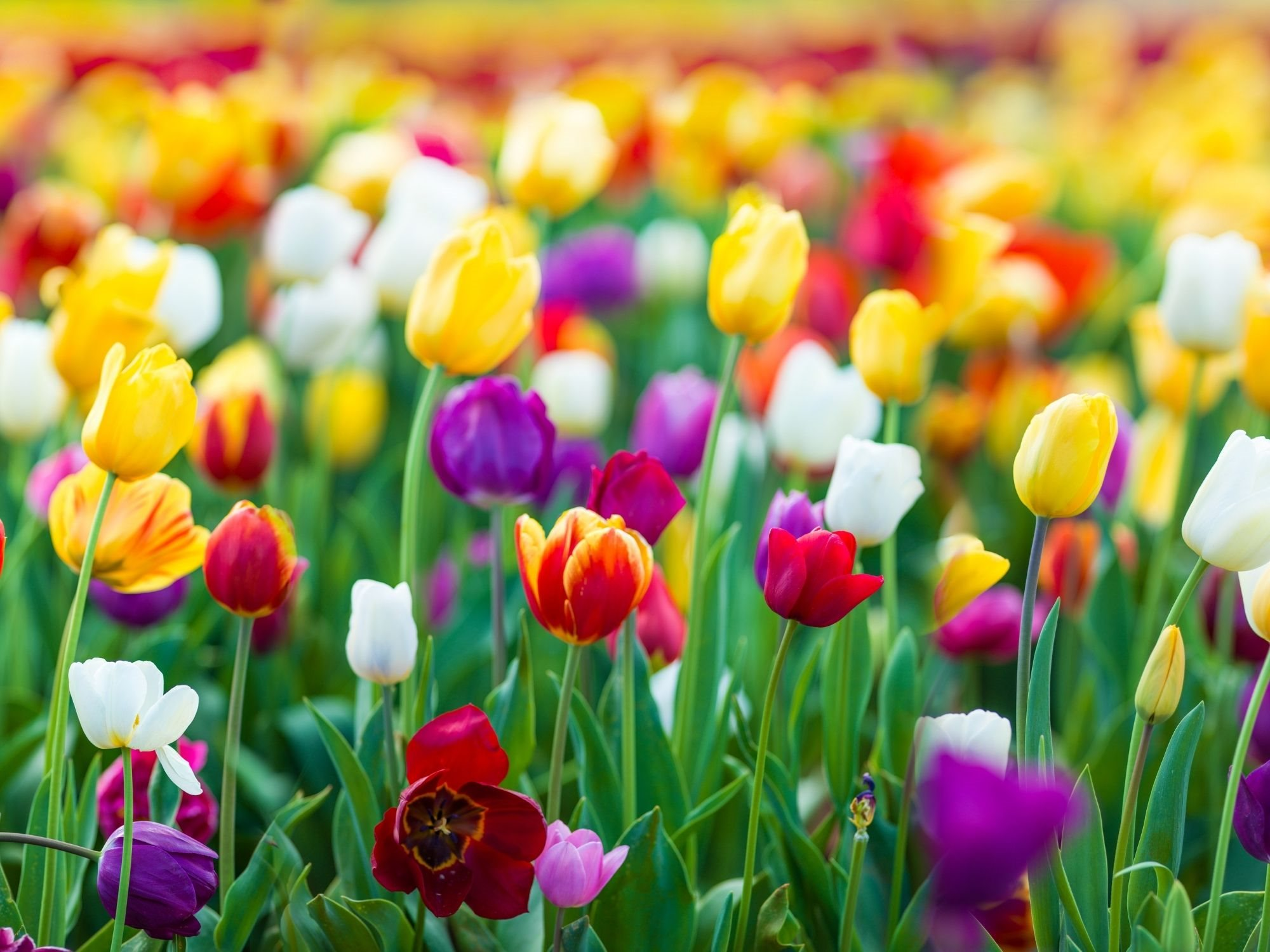 Tulips landscaping