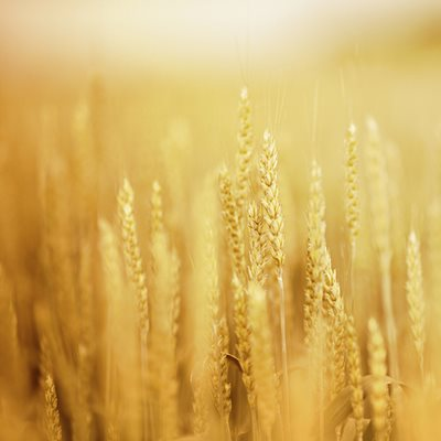 Wheat at Arbour Commons, Westminster, CO