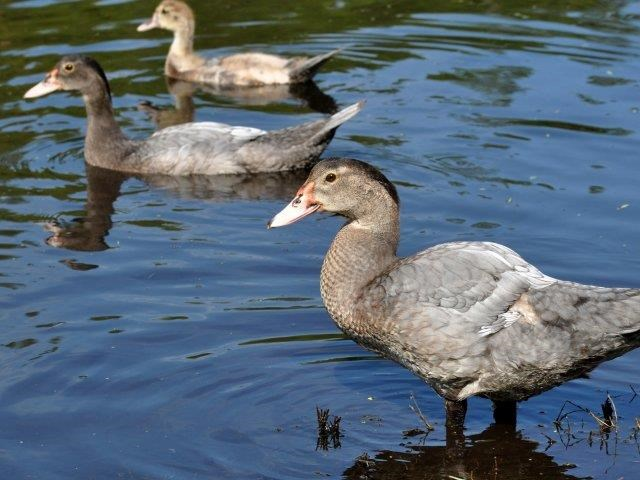 St. James Crossing   Apartments for Rent in Tampa, FL   Ducks in Lake
