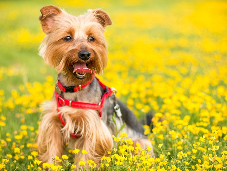 Yorkie playing in the grass