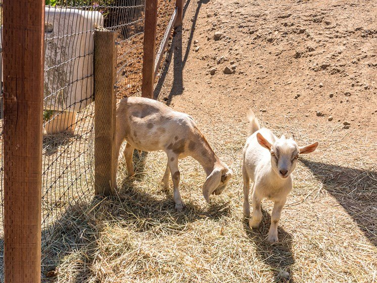 Goats Grazing In The Field at Healdsburg, A Pacifica Senior Living Community, Healdsburg