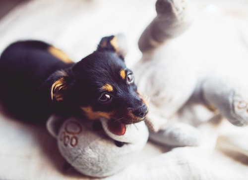 Puppy resting face on stuffed animal